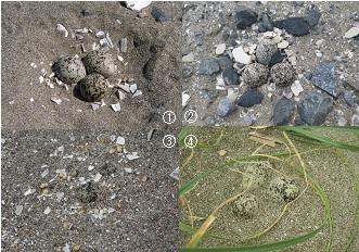 写真.シロチドリの卵.①埋められていない卵.②~④様々な埋められ具合の卵.砂で埋められていたり,貝殻片がかけられていることも.