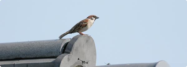 瓦屋根で繁殖するスズメ。騒音の激しいところで繁殖している鳥もいるが,そこの子は寿命が短かったりする?