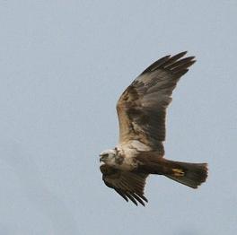 食物を探して飛ぶチュウヒ(撮影:石渡賢一)