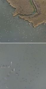 伊豆沼のオオハクチョウとマガン