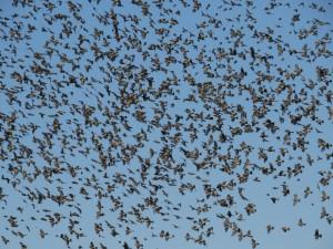 上空を群飛する約1600羽のアトリ(栃木県塩谷町にて)