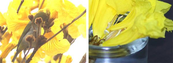 コガネノウゼンの花から吸蜜するメジロ(左)とメジロに花弁を裂かれた花(右)