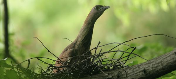 抱卵するミゾゴイ。粗末な彼らの巣では,抱卵温度が低くなってしまいそうだが・・・。(撮影:内田 博)
