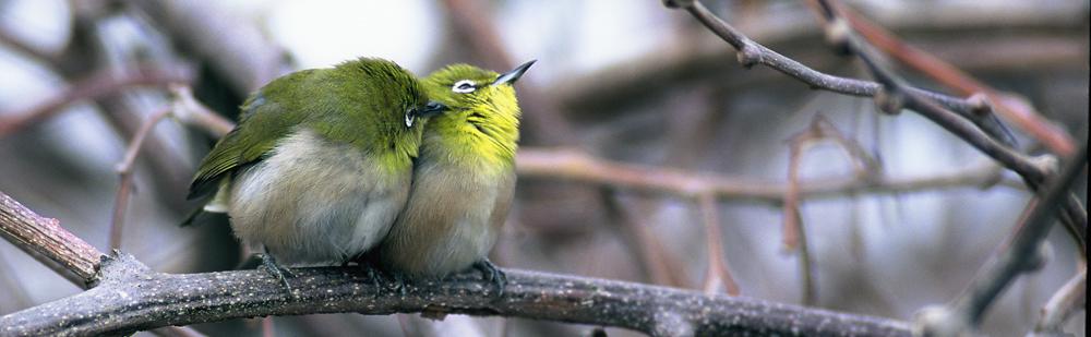 相互羽づくろいをするメジロ。首の羽づくろいをしているところに注目