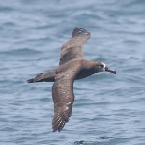 クロアシアホウドリ。論文には登場しませんが、コアホウドリ等と同じように海上風を受けてはばたかずに飛翔します。