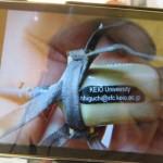 写真4 密猟されたサシバに装着されていたGPS送信機