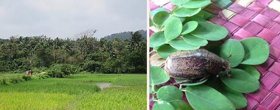 写真2 サシバが春の渡り時に集結するココヤシ林とサシバが捕食する大型のコガネムシ