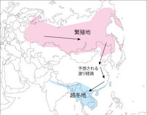 シマアオジの分布と推定される渡り経路。日本は繁殖域の南部に位置する。