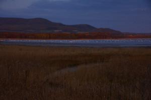 写真1. コムケ湖の湖岸から見たオオハクチョウ。