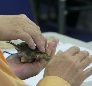 翼を広げたスズメの剝製を手に取り、羽の感触や形を確かめる参加者。